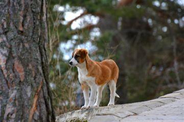 dog pup puppy kopek