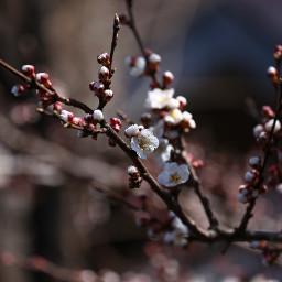 freetoedit spring blossom