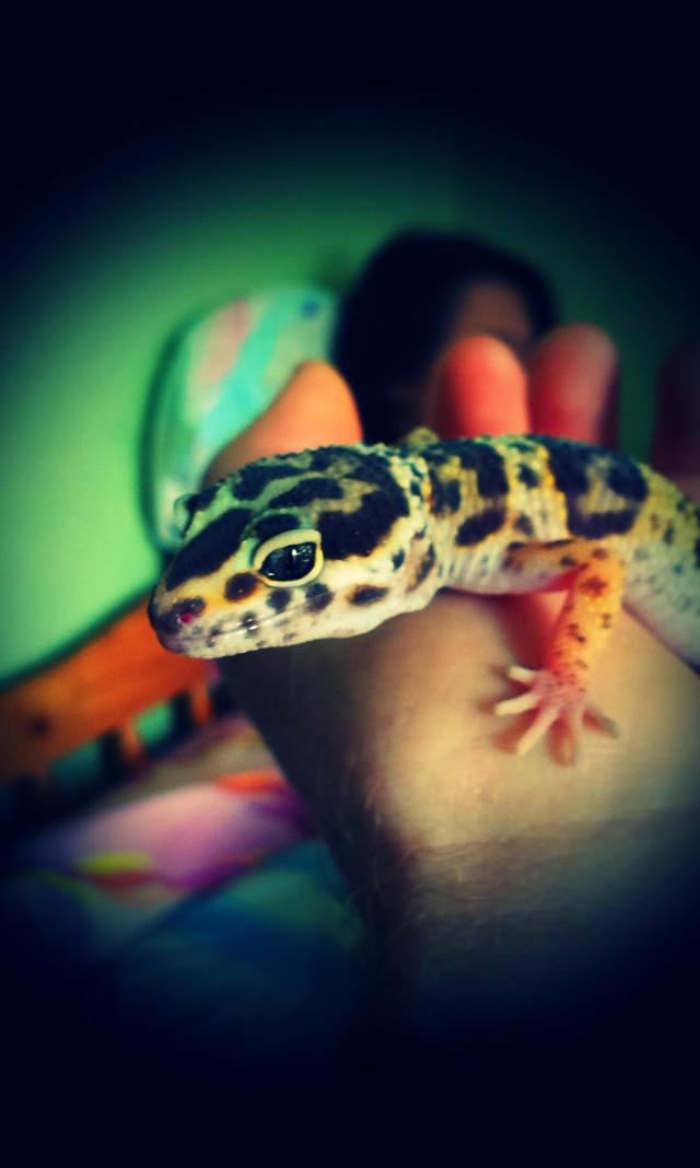#CoCo  #freetoedit #petsandanimals #photography #Gecko #GeckoSmiley #Raptile #colorfull #animal