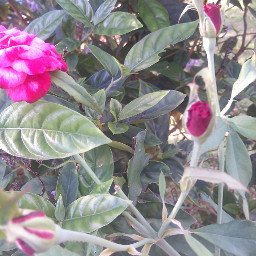 nature roseflower red beauty