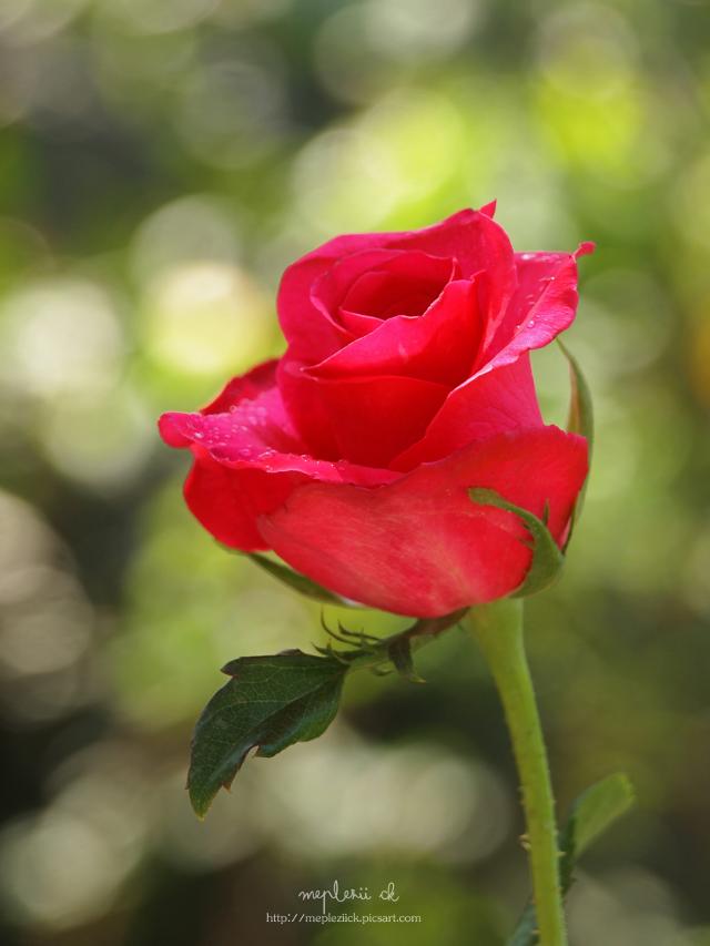 """Happy birthday my dear Ash @spark36 ""  #rose #flower #photography #nature"