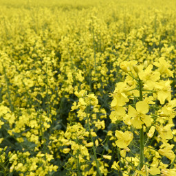raps fr gelb spring yellow