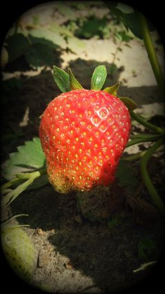 photography nature summer colorful strawberry