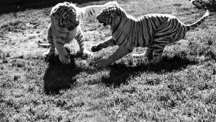 fight tigers blackandwhite sony animals