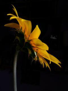 sunflower yellow flower nature photography