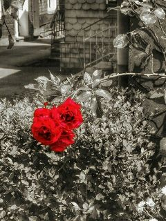 photography hdr flower blackandwhite