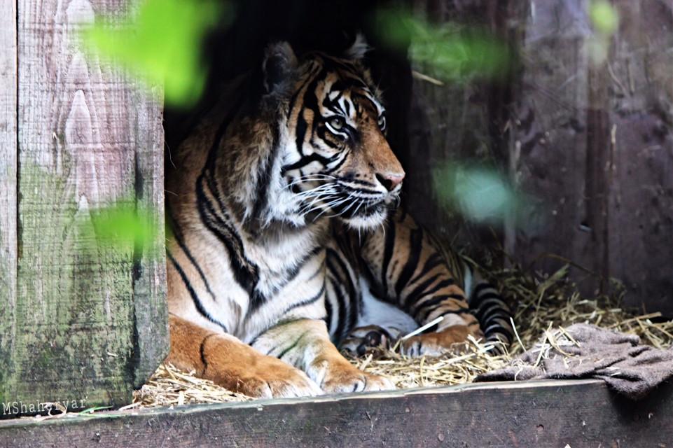 #photography  #cat  #wildcat  #tiger  #londonzoo  #resting