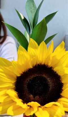 sunflower nature photography summer beauty