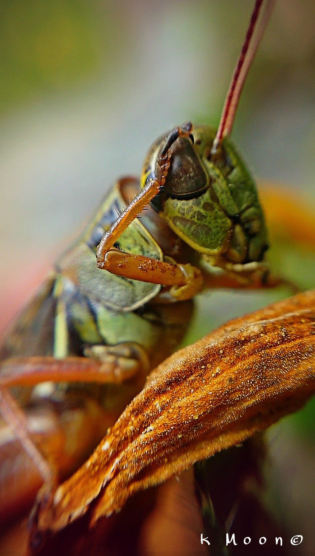 #colorful #colorsplash #photography #nature #summer #macro #closeup #insect #flower  #grasshopper