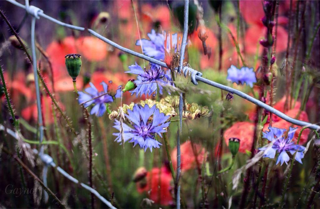 #photoblend of fhe flowers still in bloom.  #poppy  #cornflower  #fence