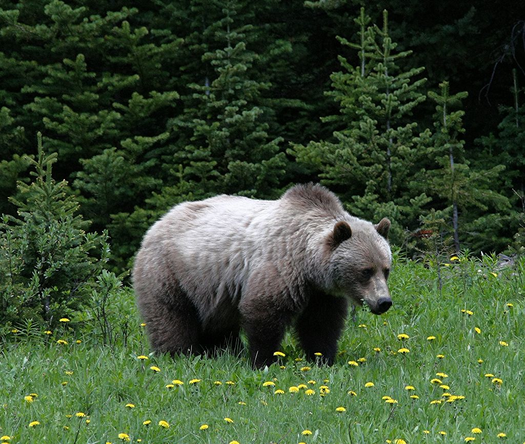 Nice grizzly from Kananaskis, Alberta, Canada