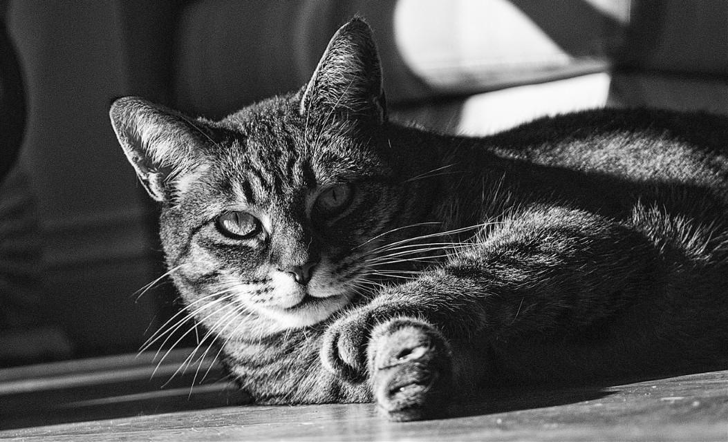 A friends cat.  #photography  #petsandanimals  #cat  #blackandwhite #B&W