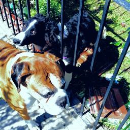 friends boxer bordercollie dogs