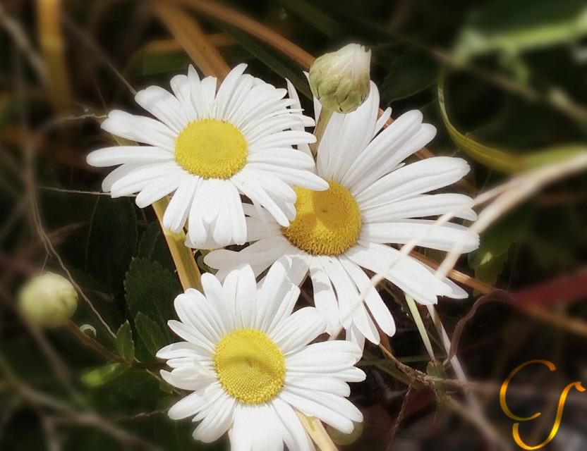 #wap #nature #flower #cs15